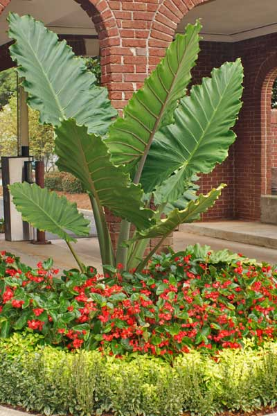 Annuals surrounding a large elephant ear at a property in Louisville, GA.